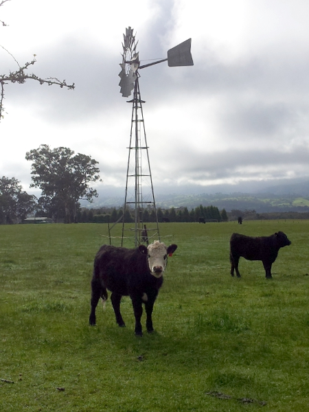 As Phil Ligget says, its when the Cows are sitting down you have to worry. (photo: katrina)