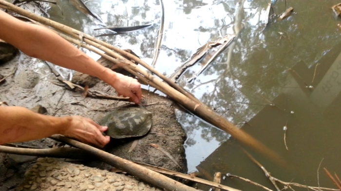 Turtle rescue at Watsons Creek. Photo: Katrina